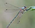 Lestes-sponsa-Gifhorn-02.jpg