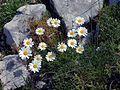 Leucanthemum chloroticum Jastrebica ridge leg P. Cikovac.jpg