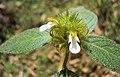 Leucas ciliata 05.JPG