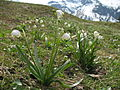 Leucojum vernum in the Allgaeuer Alps.JPG