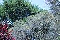 Ligustrum lucidum IMG 2888.jpg