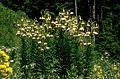 Lil ciliatum 02Hab Tuerkei Ziganapass 30 06 93.jpg