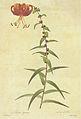 Lilium lancifolium in Les liliacees.jpg