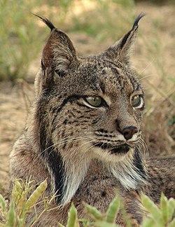 Portrait d'un lynx pardelle. On distingue bien les pinceaux de poils noirs au bout des oreilles, et la collerette de poils autour du cou.