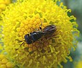 Lindenius species. probably L. albilabris - Flickr - gailhampshire (2).jpg
