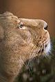 Lioness Shantee, mother of Naui (4277057799) (2).jpg