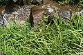 Liriope muscari 8zz.jpg