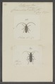 Litopus - Print - Iconographia Zoologica - Special Collections University of Amsterdam - UBAINV0274 033 18 0029.tif