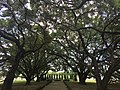 Live Southern Oak trees at The Big House of Whitney Plantation 2 - 2016.jpg