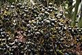 Livistona chinensis 4zz.jpg