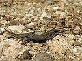 Lizard (20810166689).jpg