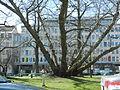 Ljubljana - Miklošičev park - krilati oreškar (Pterocarya fraxinifolia) 2.jpg