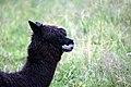 Llama mp3h1520.jpg