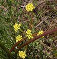 Lomatium cookii.jpg