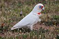 Long-billed Corella (Cacatua tenuirostris) (8079603537).jpg