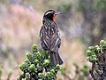 Long-tailed Meadowlark RWD2.jpg