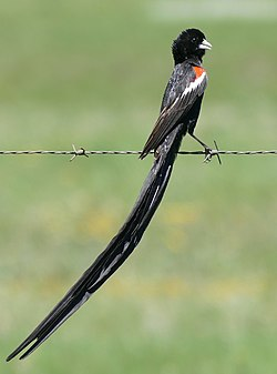 Long-tailed Widowbird (Euplectes progne) male .... (46718360972).jpg