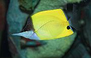 Longnose Butterflyfish - Forcipiger flavissimus