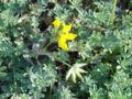 Lotus creticus 2.jpg