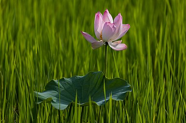 Lotus flower and leaf at sunset.jpg