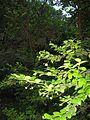 Luma apiculata5.jpg