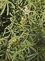 Lupinus angustifolius 20090417.jpg