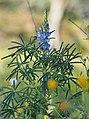 Lupinus angustifolius 20150331 a.jpg