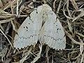 Lymantria dispar ♀ - Gypsy moth (female) - Непарный шелкопряд (самка) (39979996355).jpg