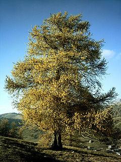 Larix decidua in autumn