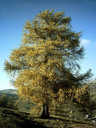 Larch - Larix decidua in autumn