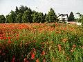 MAKI NA PODKOWIŃSKIEGO 2014 r. 06 - panoramio.jpg