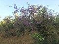 Machaerium amplum - Fabaceae - arbusto escandente espinescente 01.jpg