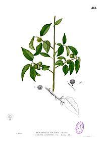 Maclura cochinchinensis Blanco2.418