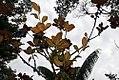 Magnolia grandiflora 49zz.jpg