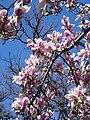 Magnolia x soulangeana (Jean Tosti).jpg