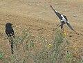 Magpie Shrikes, Serengeti.jpg
