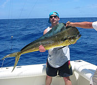 Bull (male) Mahimahi caught in the Florida Keys