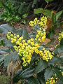 Mahonia aquifolium001.jpg