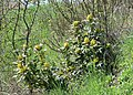 Mahonia aquifolium kz02.jpg