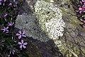 Maine Coast - Spring Phlox (4521365181).jpg