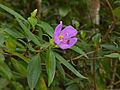 Malabar Melastome (Melastoma malabathricum) (15498436040).jpg