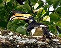 Malabar Pied Hornbill by N.A. Naseer.jpg