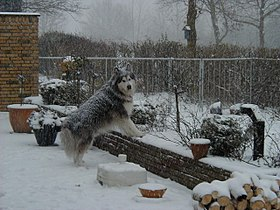 Malamute in snow.JPG
