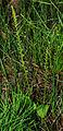 Malaxis monophyllos - habitus.jpg