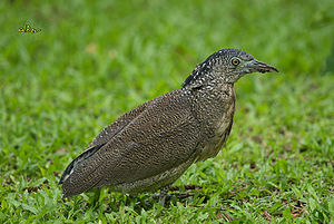 Malayan night heron - Image: Malayan Night Heron 4978