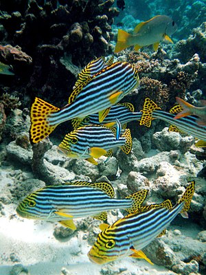 English: Maldives Oriental sweetlips fish (Ple...