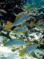 Maldives Oriental sweetlips, Plectorhinchus vittatus.jpg