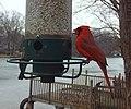 Male Cardinal- Birdcam (4284785202).jpg