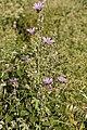 Malva sylvestris-Grande mauve-20160624 1.jpg