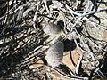Mammillaria pottsii (5726485462).jpg